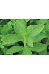 Stévie sladká - rostlina